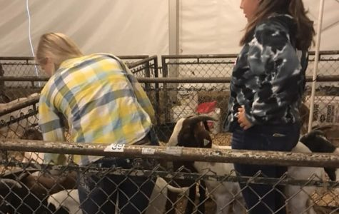 Students brushing and getting the goats ready to show